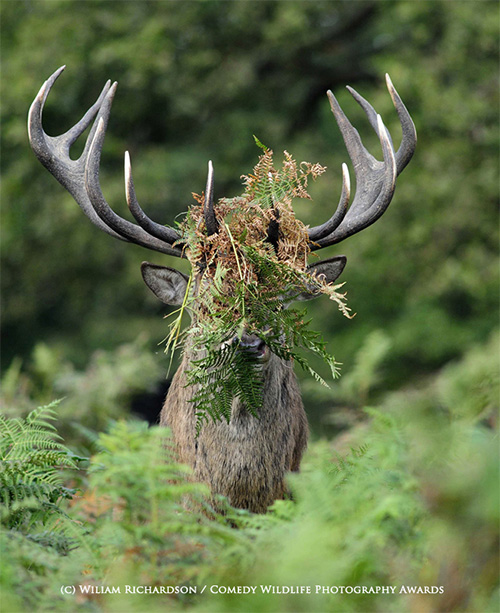Comedy wildlife awards 2015 deer
